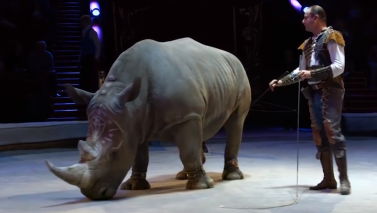 Video of endangered white rhino forced to perform in circus prompts outpouring of anger