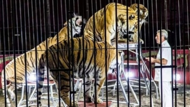 Tigers maul circus trainer in Italy to death.