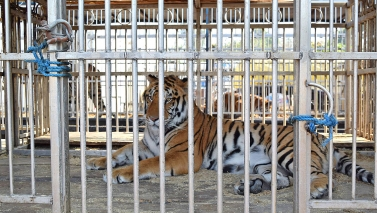Circus tigers arrive at Big Cat Rescue in Florida from Guatemala